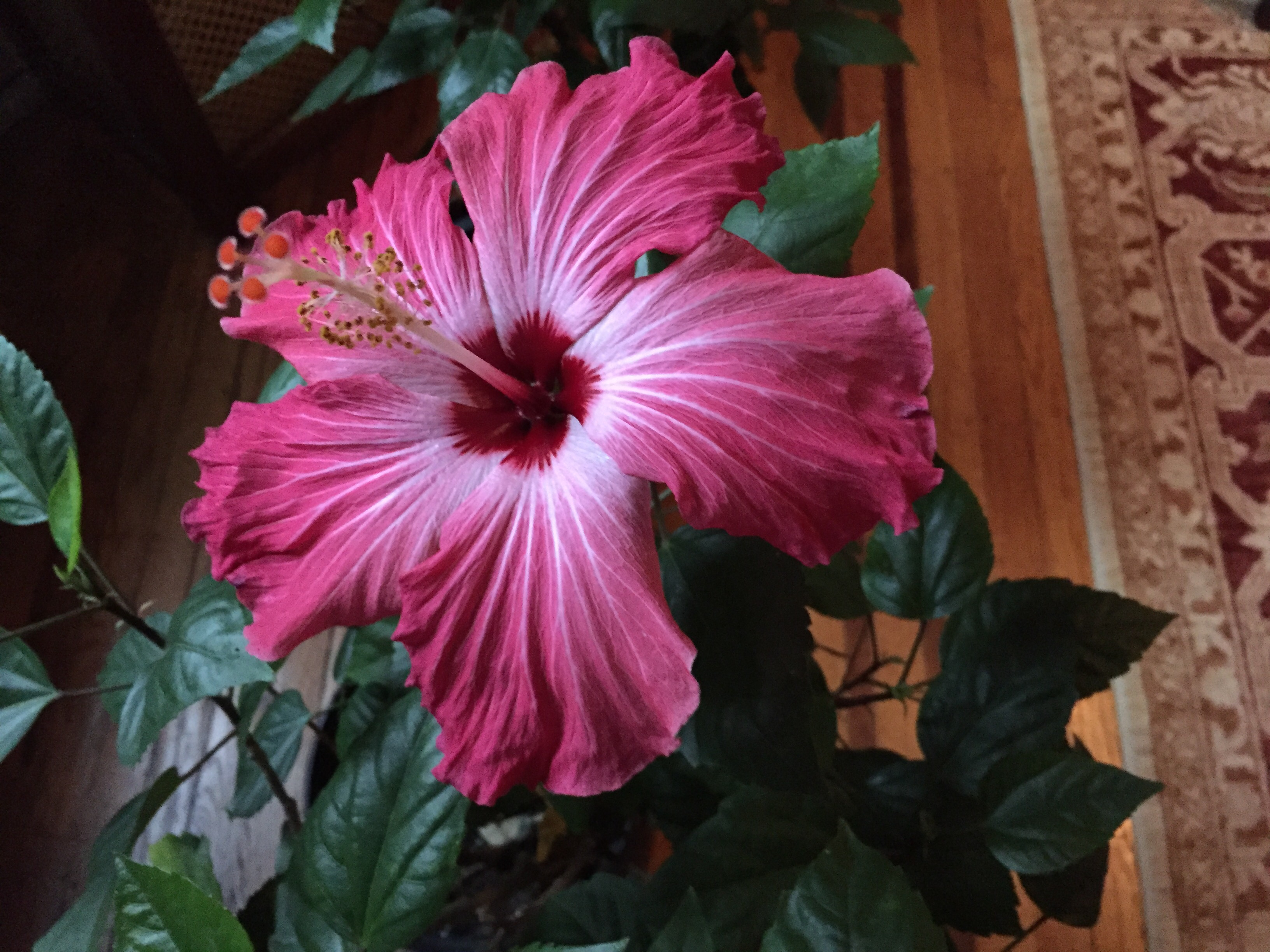 Hibiscus laurieanichols believe it or these are the first blooms she has gotten all year inside or out at least she finally got blossoms the wait was more than worth izmirmasajfo